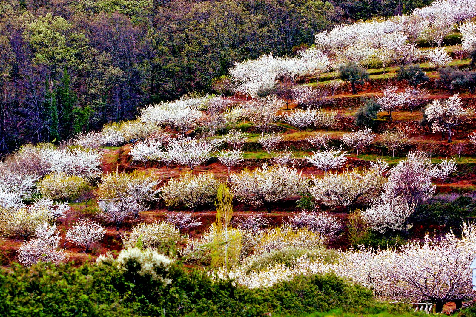 floración de los cerezos del Valle del Jerte