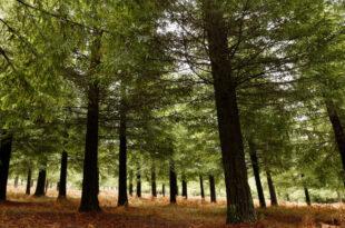 Bosque de Secuoyas de Colón